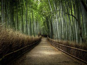 Camino en el Bosque de bamboo en Japón