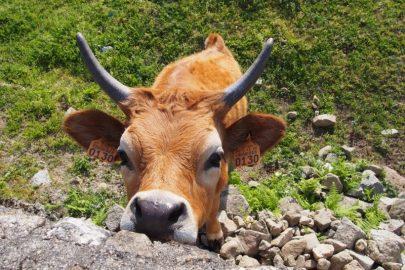 En interesseret ko på vejen