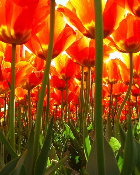 Tulip Forest, Willhem, The Netherlands