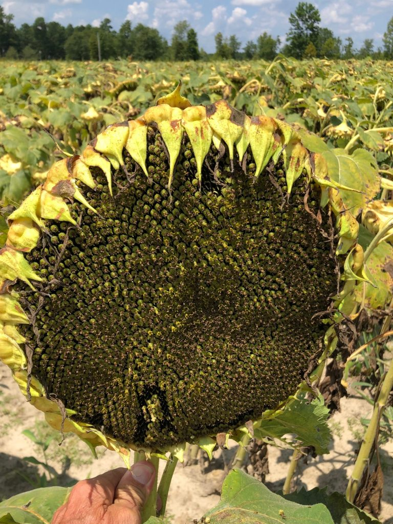 How many doves can a 10 inch sunflower feed?