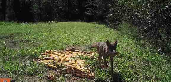 Corny Coyote!!!