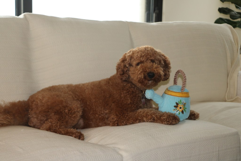labradoodle with toy