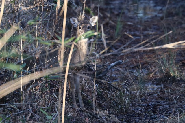 fawn peaking out of the woods in the winter