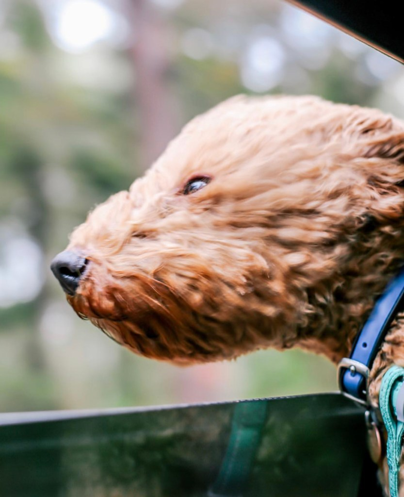 labradoodle with head out the car window