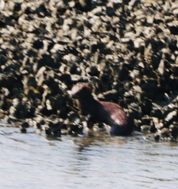 Mink in oyster bed
