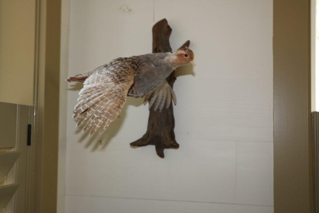 Hungarian Partridge mount