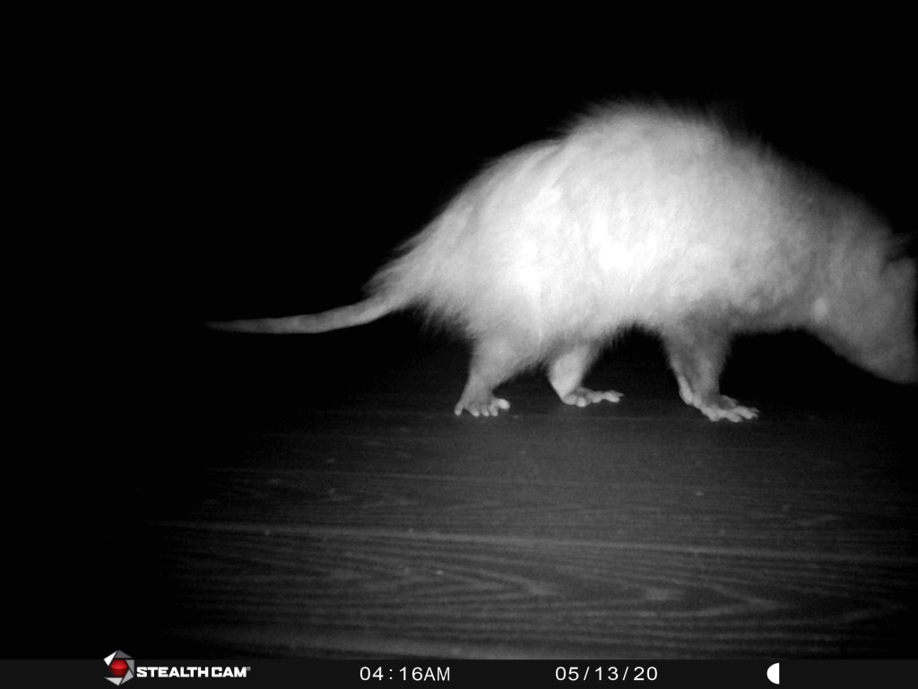 possum caught on trail camera