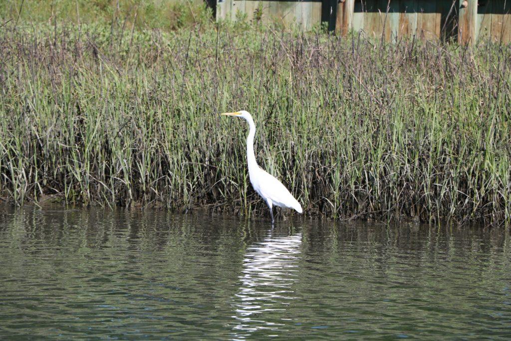 wading bird fishing on the salt marsh