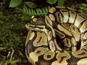 Idemili: A clan of the Royal Python