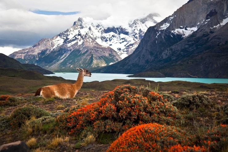 Guanako entspannt vor Bergen am Wasser