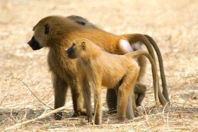 singes-dans-le-parc-du-campement-diu-niombato-10-1080p