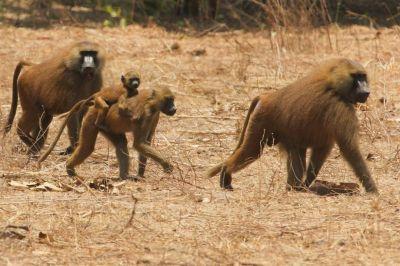 singes-dans-le-parc-du-campement-diu-niombato-11-1080p