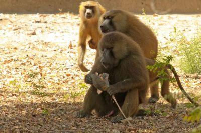 singes-dans-le-parc-du-campement-diu-niombato-5-1080p