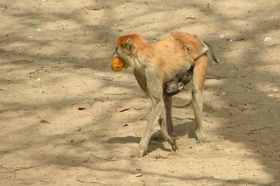 singes-dans-le-parc-du-campement-du-niombato-4-1080p