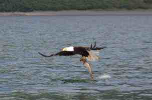 bald-eagle-catches-our-throw-backs