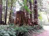 mill-creek-campground-redwoods-04