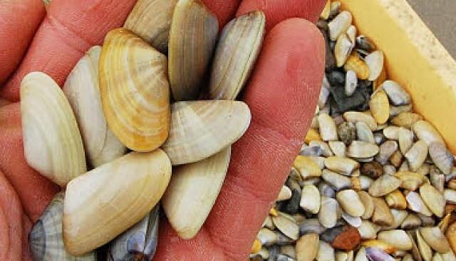 Frutti di mare pescati al largo di Cuma, sequestrati 30 kg di molluschi potenzialmente pericolosi