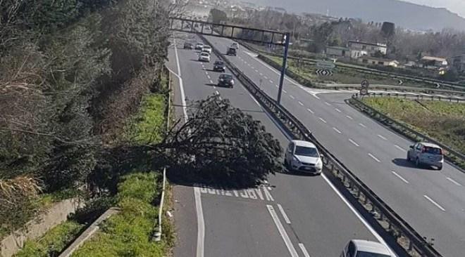 Pino si abbatte sulla Strada Statale Domiziana, circolazione ridotta ad una corsia