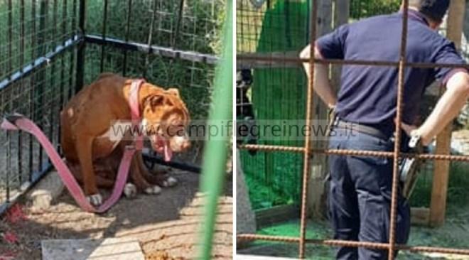 RIONE TOIANO/ Pitbull chiuso in gabbia in pessime condizioni sanitarie: ordinato lo sgombero
