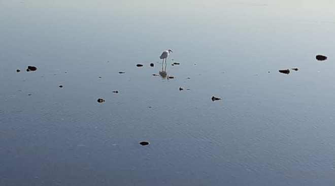 BACOLI/ Un airone bianco e due neri compaiono nel lago Miseno