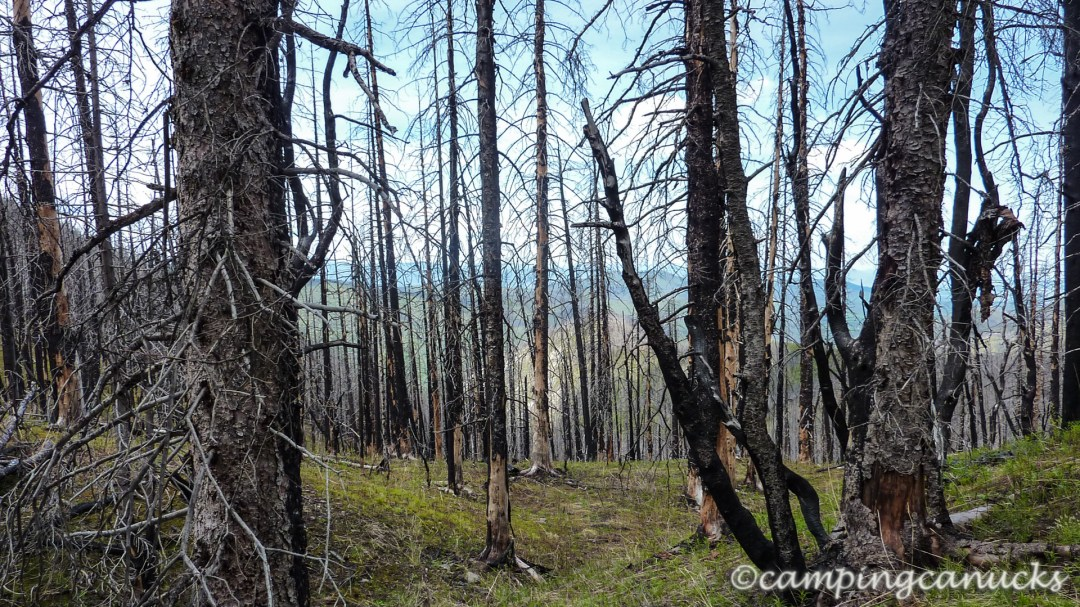 A burnt forest