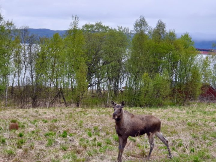 Moose in the arctic circle Norway