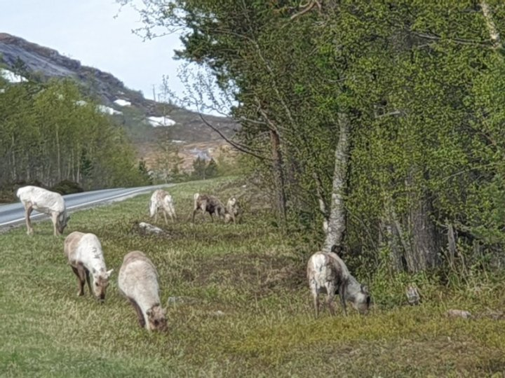 Reindeer by the road in the arctic circle Norway.