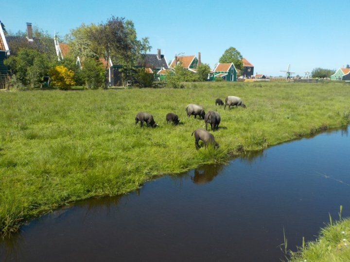 Animals roam freely and peacefully in Zaanse Schans