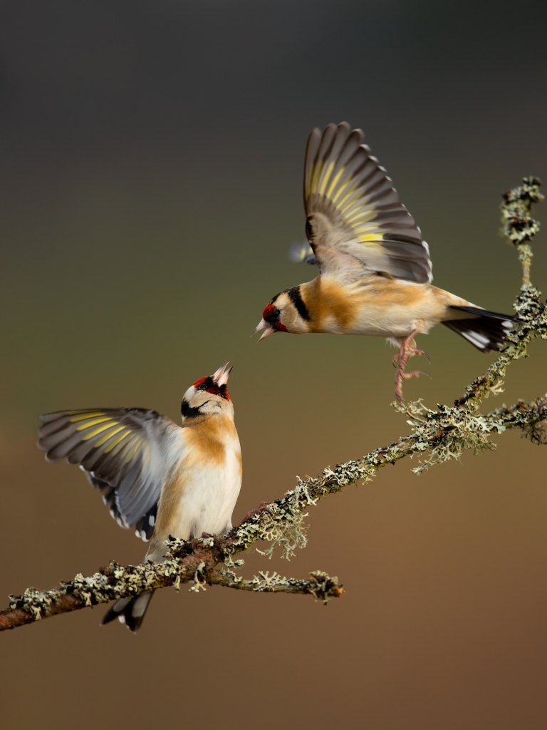 7 Goldfinches Fighting July 2013