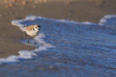 Kentish plover (Charadrius alexandrinus) adult male running along shoreline. Abruzzo, Italy 2021