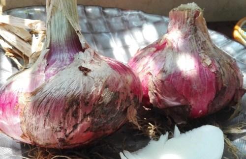 Prove di microfinanza rurale, futures per le cipolle di Partanna