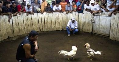 India, spettatore 55enne ucciso durante un combattimento tra galli