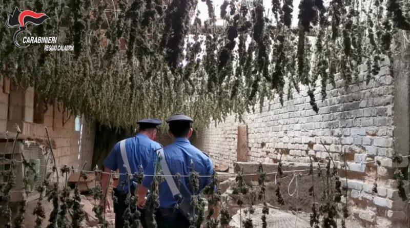 Taurianova. Capannone industriale abbandonato adibito ad essiccatoio di marijuana: sequestrate 7 mila piante (Video)