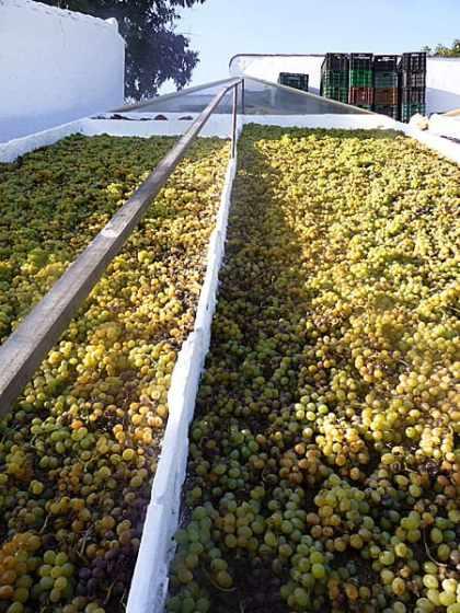 La uva se tiende en los paseros para que puedas comprar pasas de Málaga secadas de modo natural