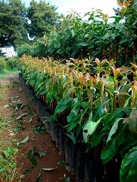 Planta Mejorada de Aguacate Hass