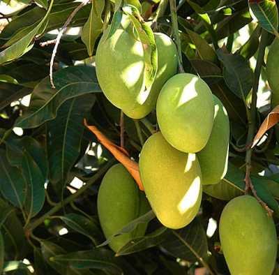 Las propiedades del mango son conocidas desde antiguo
