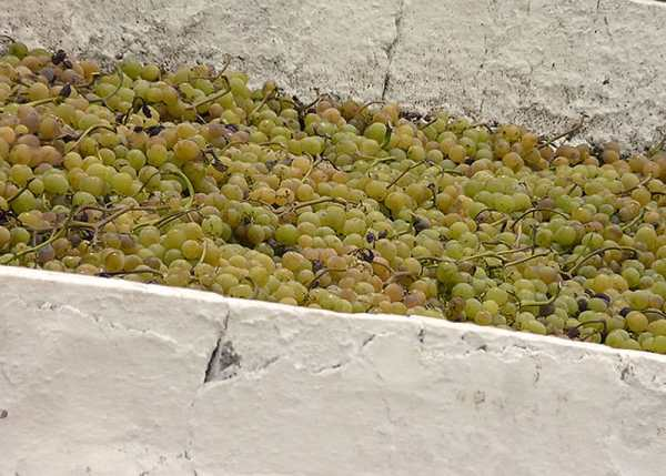 Las pasas de Málaga se hacen con uva Moscatel secada al sol