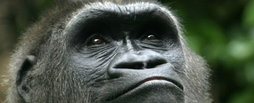 Baby-Silverback-Gorilla-Wallpaper