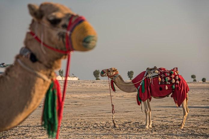 1-tan_camels_dsc_9913