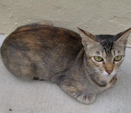 Singapore stray cat