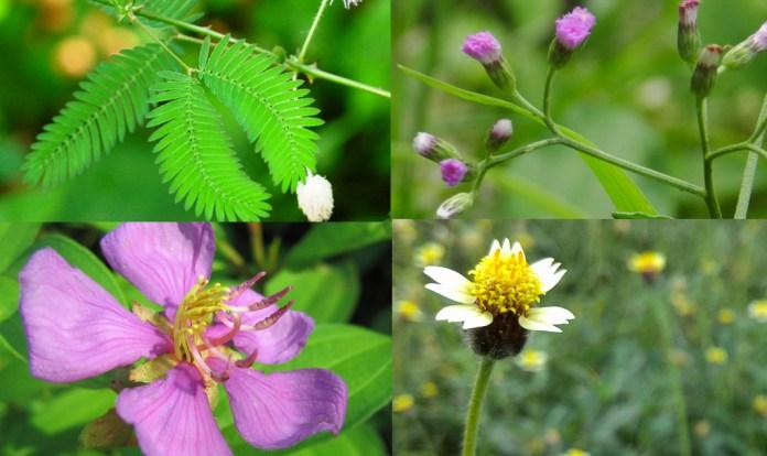 Singapore wildflowers