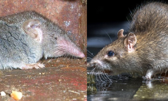shrew rat