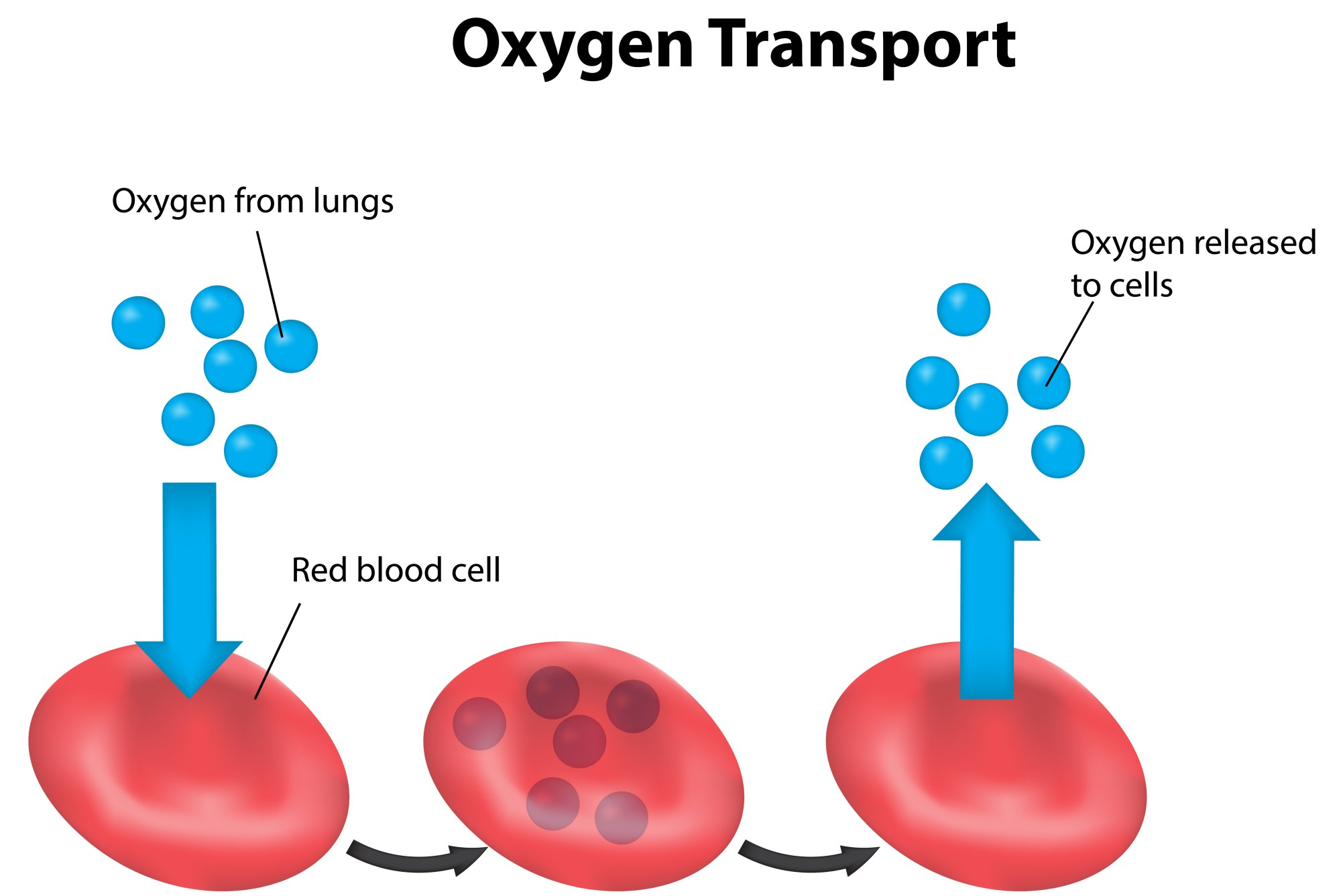 hight resolution of red blood cells
