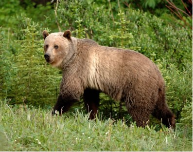 grizzly bear ursus arctos