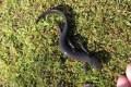 Conservation Halton Salamanders