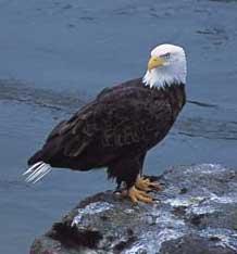 Brackendale Eagles