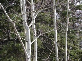 Aspen Trees in Jasper © Lucy Izon