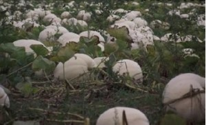 Norfolk White Pumpkins