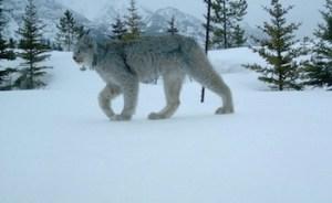 Parks Canada Lynx