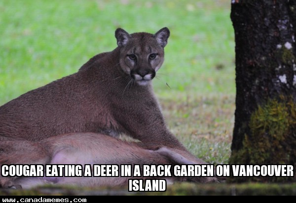 🇨🇦 Cougar eating a deer in a back garden on Vancouver Island - Very cool!!